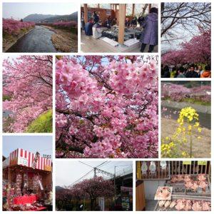 kawazu-sakura2015